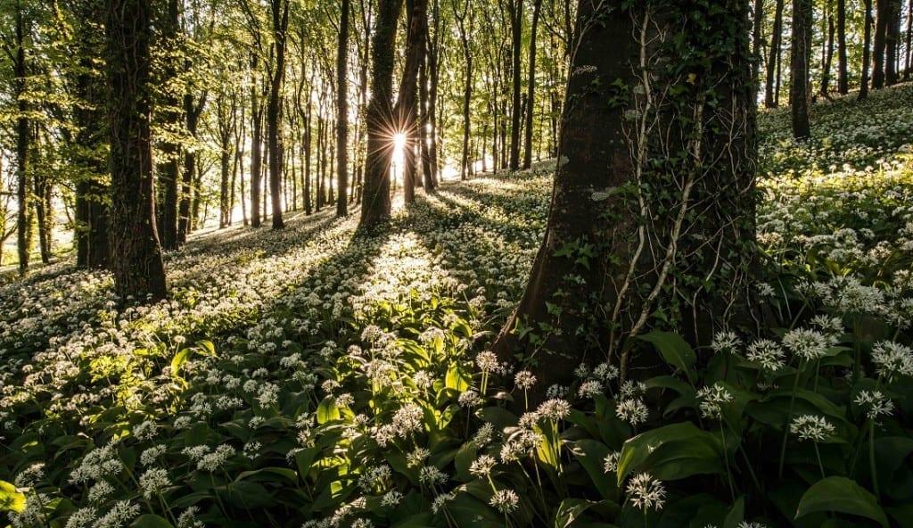 Robin Goodlad, The Carpet of Wild Garlic