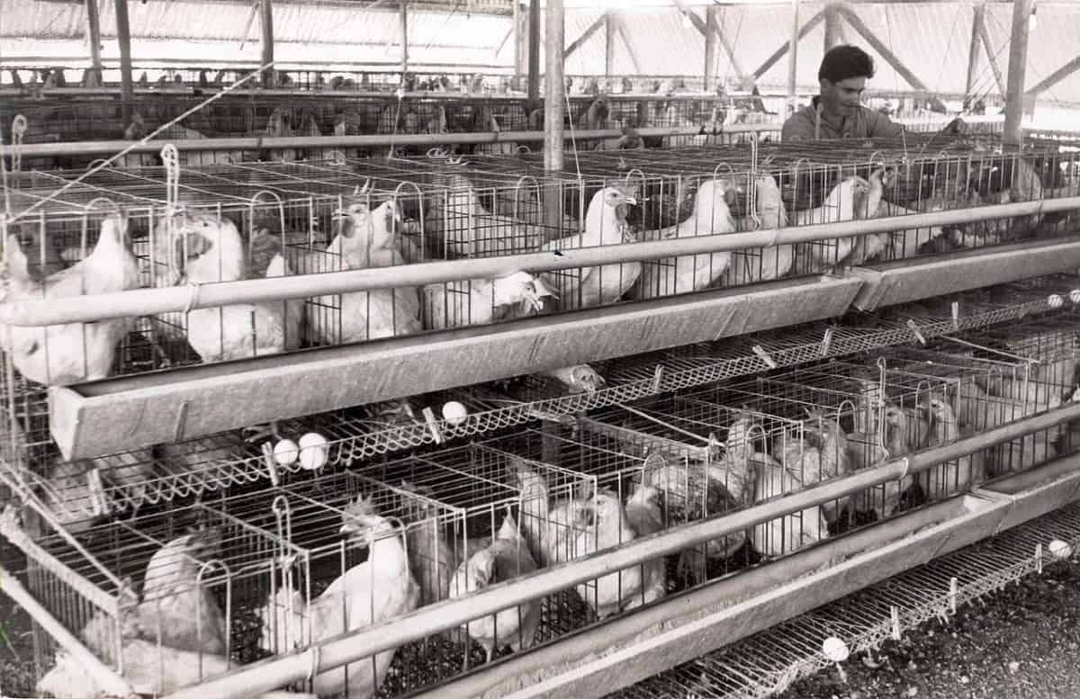 Poultry farming and the indian economy Essay Sample