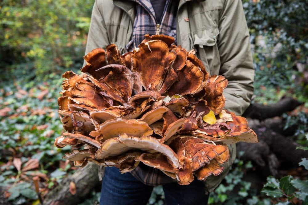 John the poacher forages for Giant Polymore Fungus in Springfield Park, London. He supplies what he finds to Hackney's trendy restaurants and bars. See National News story NNPOACH: A forager who picks mushrooms, fruit and flowers and trades them for food and drink has made a living off the land - despite living in London. Full-time forager Jonathan Cook, 39, has been foraging for over 20 years, since being introduced to the past-time by his grandfather aged seven. He started foraging as a hobby, but as Hackney, east London, where he lives, has turned into one of London's foodie hotspots, he has taken his passion full-time. John, who goes by the nickname 'John the Poacher', spends most his time in parks, commons and marshes across the east London borough, collecting produce which he trades for other food.