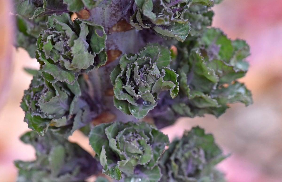 New vegetable called Kalettes - A cross between Kale and sprouts. Grown at Staples Vegetables near Boston, Lincs. See Masons copy MNVEG: A new vegetable has been harvested in time for Christmas as a more appealing alternative to the Brussel Sprout. The creation, called Kalettes, are nutty and sweet tasting and are a cross between kale and the traditional sprout. It's hoped the new green will be more popular than the classic Christmas vegetable which often proves unpopular among children and adults alike. Staples Vegetables near Boston, Lincs., is behind the idea and hope they will prove popular over the coming festive months.