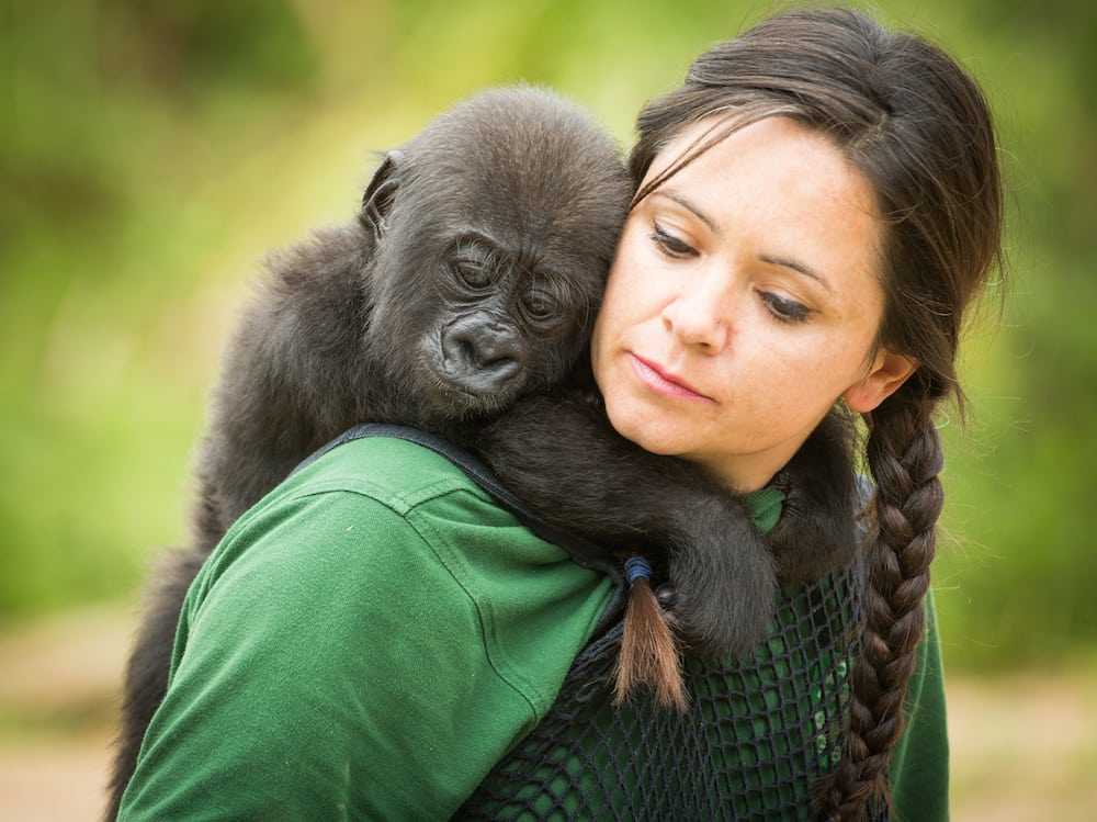 Afia, a six month old Gorilla - the first to be born by c-section at Bristol Zoo plays with her keeper Joanne Rudd. The young Western Lowland Gorilla clung on to her keeper as she would her mother and is said to be becoming strong, alert and vocal. August 10 2016.