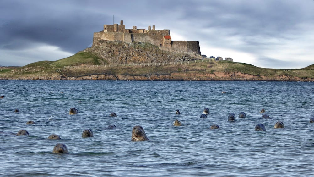 Geoff Chrisp's incredible photo of a group of seals in the water in front of Lindisfarne Castle.  This remarkable image showing dozens of seals popping their heads out of the sea and looking right at the camera has split opinions over whether it's real or not. Geoff Chrisp, 58, captured the unique moment at Ross Sands in Northumberland, with iconic Lindisfarne Castle in the background. But his stunning image has sparked a debate on social media with users arguing over whether it is fake. Geoff said he was enjoying a day out with his wife Sandy, 58, and friends when they came across more than 100 inquisitive seals on the shores.