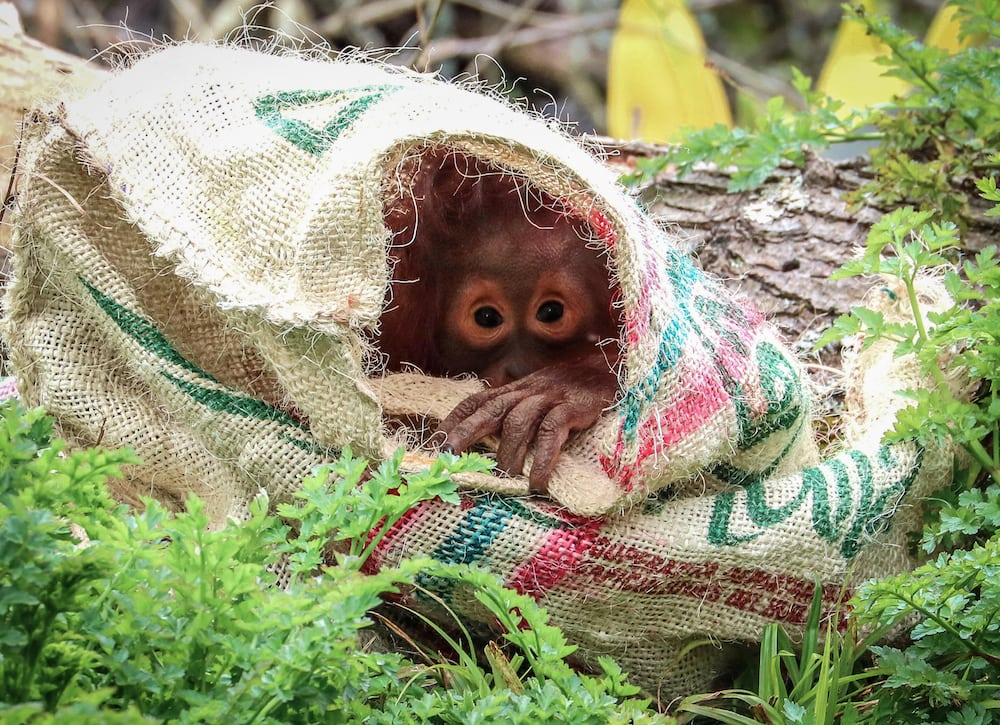 Tatau the Bornean orang utan peers out from a hessian sack at Paignton Zoo Environmental Park in Devon.  The three-year old's couture outfit is courtesy of Coffeeman Devon Limited of Newton Abbot, who donated hessian sacks to the Zoo. Keepers at Paignton Zoo (a registered charity) give orang utans – and many other species – different things to play with in order to stimulate them mentally and physically.