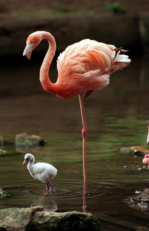 Scientists solve mystery of why flamingos stand on one leg