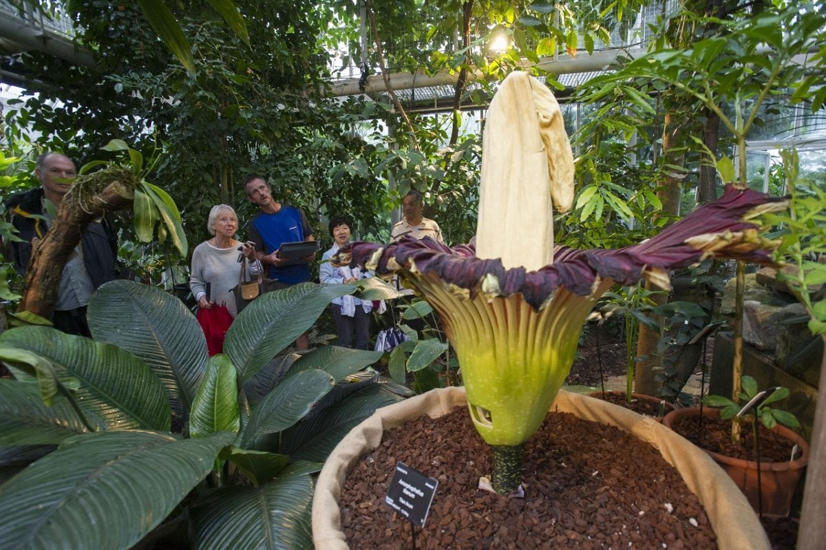 """Gigantic """"corpse flower"""" blooms for first time in 13 years"""