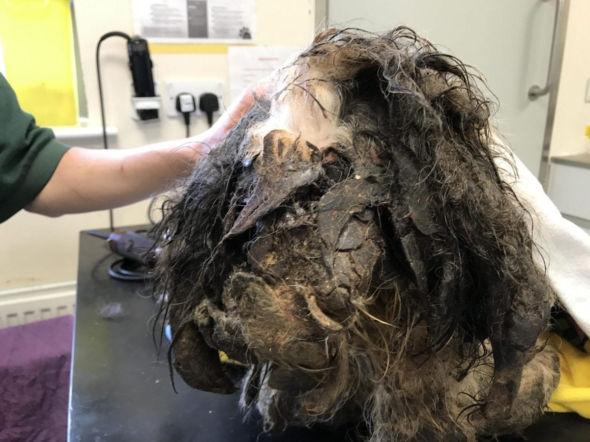 Matted Dog Ear