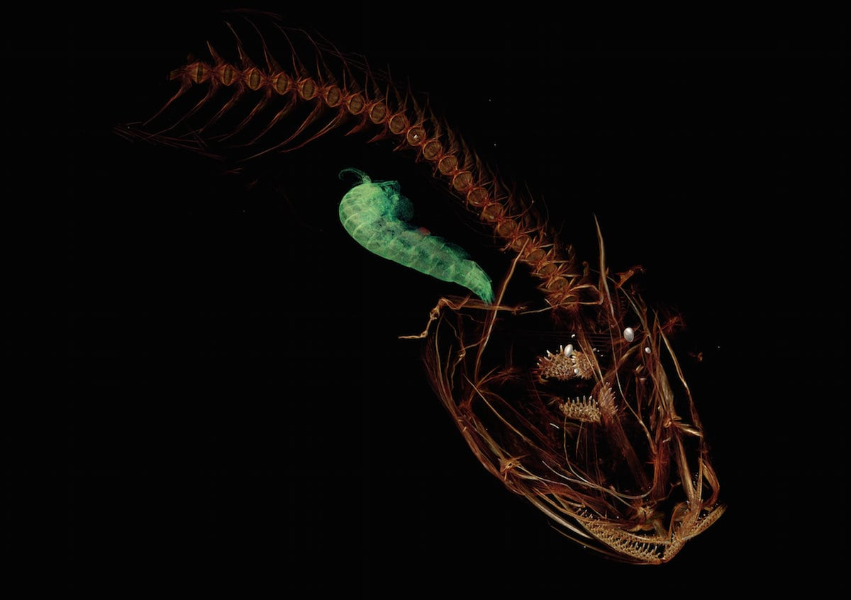 Deepest Fish Ever Discovered in Mariana Trench