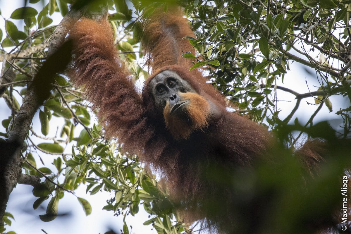"an overview of the endangered orangutan species essay ""students' devotion to protecting endangered animals is for ""crop bioengineering for orangutan protection and animals"" essay contest winners for."