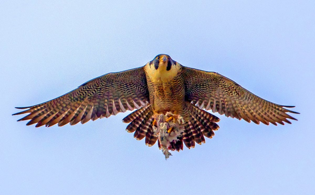 Peregrine Falcons Missile Like Dive Could Help Design Ultimate Drone Killer