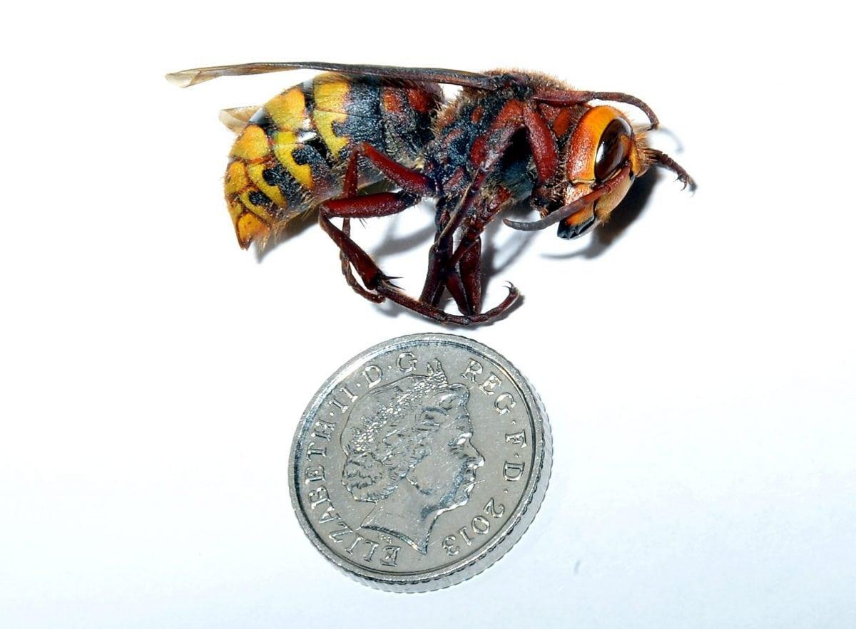 Asian Hornet (c) SWNS