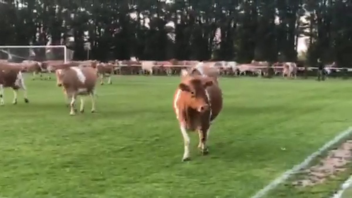 Cows invade pitch in Thrive Physiotherapy FC v Centrals Guernsey football match