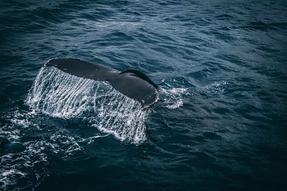 Two species of whale may have been hunted to extinction in the Mediterranean