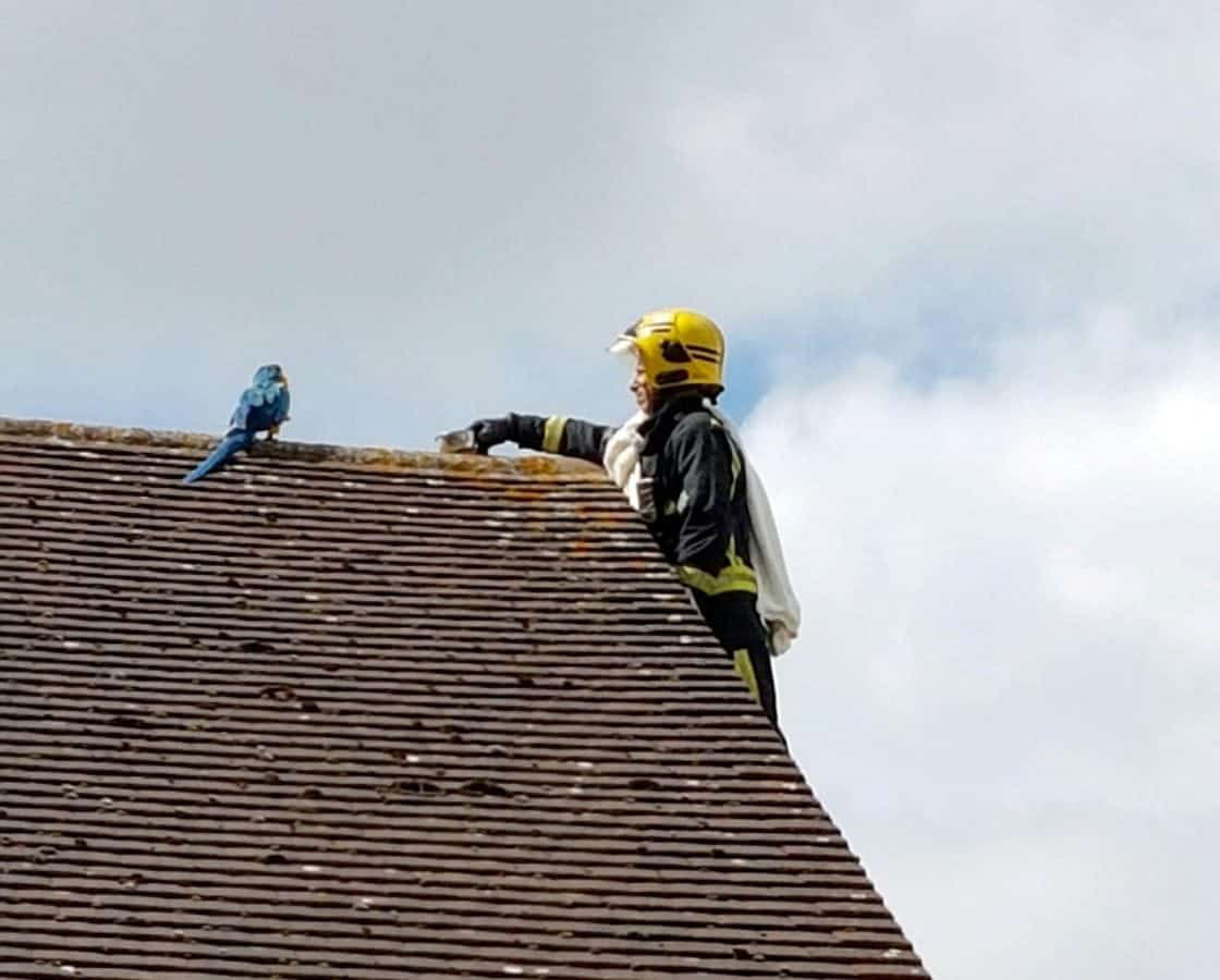 Parrot Stuck On Roof Tells Firefighter To