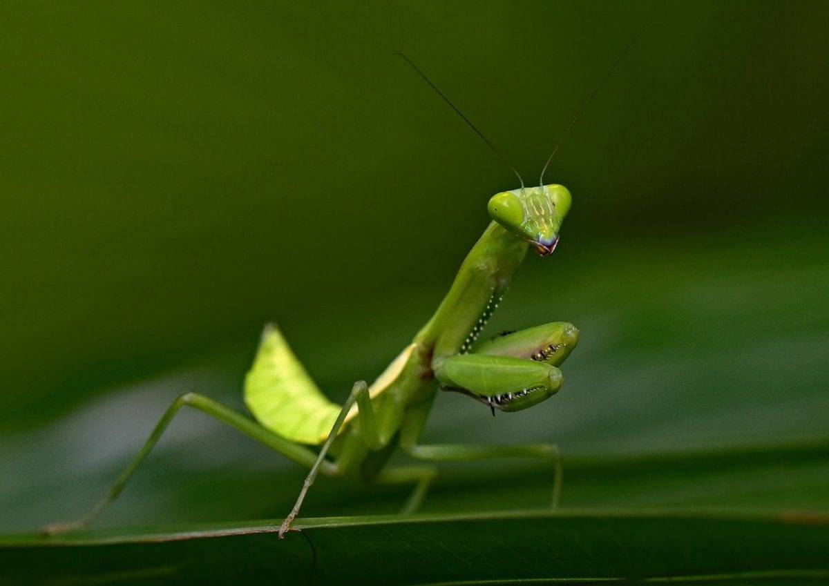 praying mantis that eats wild fish has been discovered for