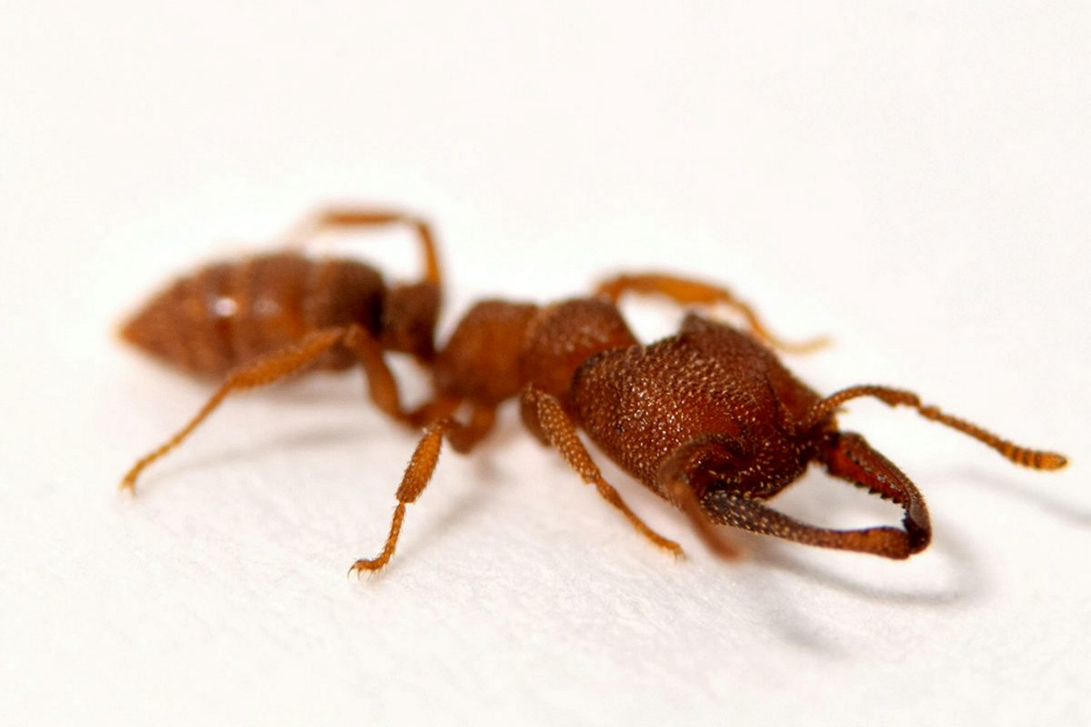 Research: Dracula ants possess fastest known animal appendage: The snap-jaw