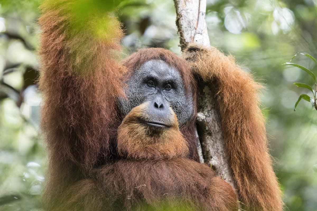 Species of orangutan d...