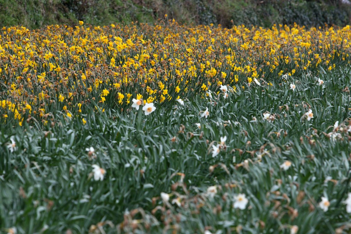 Dying daffodils (c) SWNS