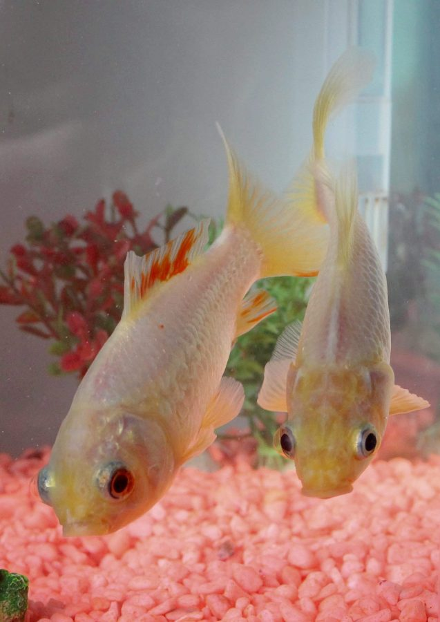 George - UK's oldest goldfish, with lifelong pal Fred (c) SWNS