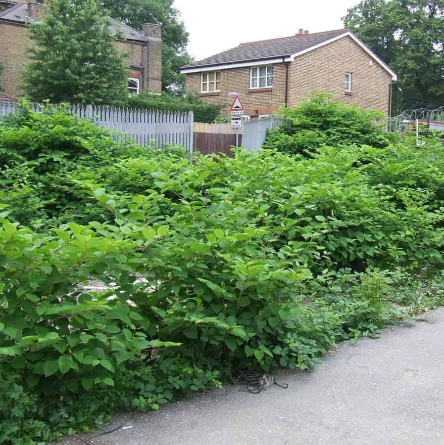 Japanese knotweed at front of house