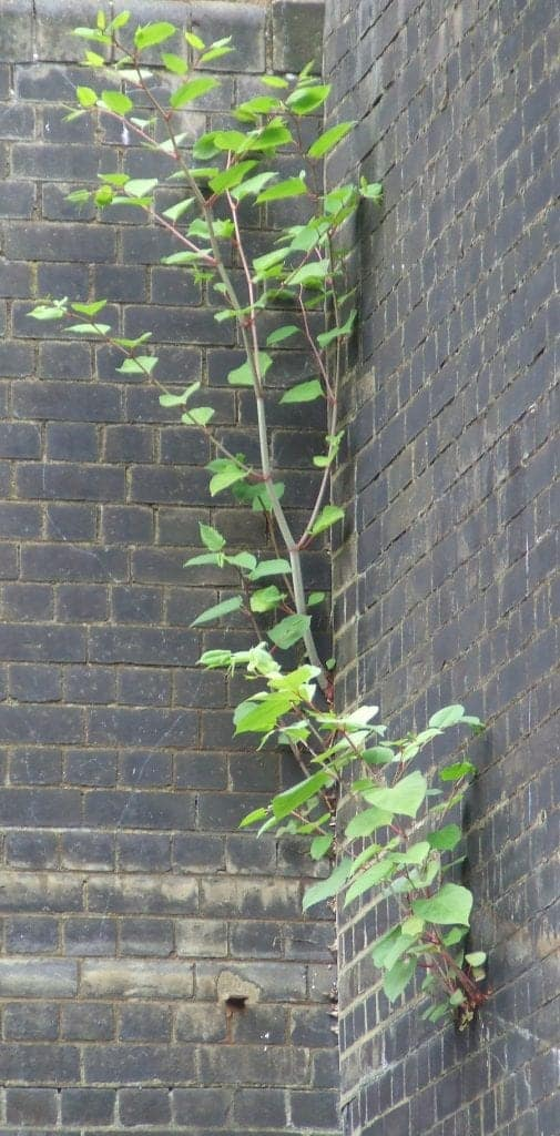Japanese knotweed growing from the wall